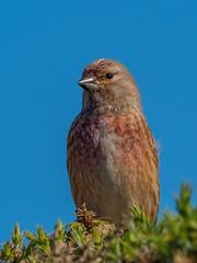 Linnet (kc02photos) Tags: linnet linariacannabina minsmere suffolk england uk birdphotography