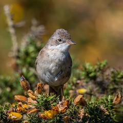 Whitethroat (kc02photos) Tags: whitethroat sylviacommumis minsmere suffolk england uk birdphotography