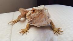 2015-03-16 02.46.10 2 (grimmthedragon) Tags: beardeddragon beardeddragons beardie beardgang reptile lizard