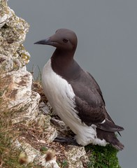 Guillemot (kc02photos) Tags: uk yorkshire guillemot uriaaalge bempton birdphotography england