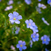 Common Flax Flowers