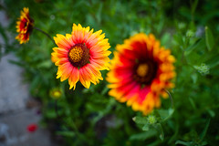 Blanket Flower (John Brighenti) Tags: asheville northcarolina nc south spring may sunny outside outdoors walking vacation flowers petals plants grow colorful wild blanket gaillardia bokeh green grass sony alpha a7rii ilce7rm2 tamron 2875mm zoom wide angle lens nex ilce emount femount sonyshooter bealpha tamron2875