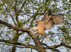 Great Horned Owlet branching (23) (Estrada77) Tags: greathornedowl owlet birdsofprey birds birding raptors distinguishedraptors wildlife outdoors may2019 spring2019 nature nikon nikond500200500mm animals kanecounty illinois