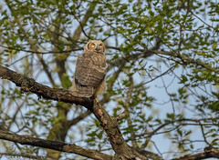 Great Horned Owlet (44) (Estrada77) Tags: greathornedowl owlet birdsofprey birds birding raptors distinguishedraptors wildlife outdoors may2019 spring2019 nature nikon nikond500200500mm animals kanecounty illinois perched