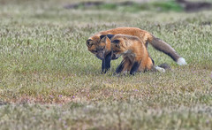 1974-1sm (torriejonvik) Tags: red fox kits pups playing grass field pacific northwest
