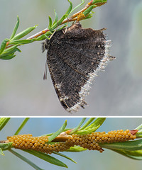 Eggs Grow in Trees (Pat Kavanagh) Tags: mourningcloak butterfly layingeggs macro micro alberta canada