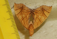 I am not a moth--3 (cotinis) Tags: insect moth lepidoptera geometridae larentiinae eulithis eulithisgracilineata greatergrapevinelooper northcarolina piedmont bmna nc may canonef180mmf35lmacrousm inaturalist