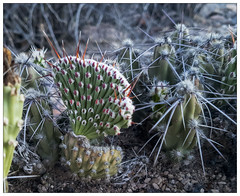 Cristate Cholla (AnEyeForTexas) Tags: cristate cactus cholla crested deformity chihuahuandesert succulent