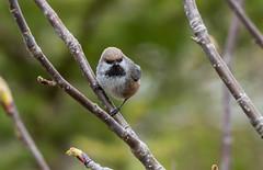 Boreal Chickadee , Interpretation Centre, Codroy (frank.king2014) Tags: borealchickadee