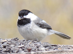 Black-capped chickadee (Poecile atricapillus) (tigerbeatlefreak) Tags: blackcapped chickadee poecile atricapillus bird passeriformes paridae nebraska