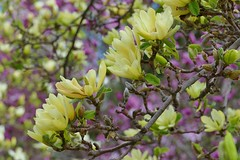 Panasonic FZ1000, Flowers, Botanical Gardens, Montréal, 20 May 2019 (43) (proacguy1) Tags: panasonicfz1000 flowers botanicalgardens montréal 20may2019