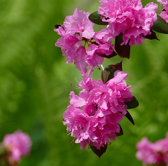 Panasonic FZ1000, Flowers, Botanical Gardens, Montréal, 20 May 2019 (39) (proacguy1) Tags: panasonicfz1000 flowers botanicalgardens montréal 20may2019