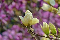 Panasonic FZ1000, Flowers, Botanical Gardens, Montréal, 20 May 2019 (44) (proacguy1) Tags: panasonicfz1000 flowers botanicalgardens montréal 20may2019