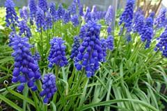 Panasonic FZ1000, Flowers, Botanical Gardens, Montréal, 20 May 2019 (51) (proacguy1) Tags: panasonicfz1000 flowers botanicalgardens montréal 20may2019