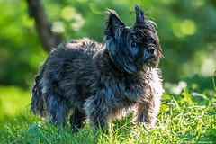 2019.05.26.2443 Brunhilde (Brunswick Forge) Tags: 2019 grouped spring outdoor outdoors animalportraits nikond750 nikkor200500 evening day sunny nature wildlife tree trees forest woods brunhilde brunie dog dogs doggy doggie doggies muzzie missmuzz cairn terrier cairnterrier puppy puppies littlebits virginia fx botetourtcounty favorited commented