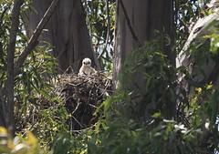 Waiting for mom! (avilacats) Tags: nest solitary slobotanicalgardens fluffball redtailedhawkchick
