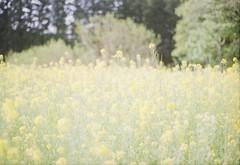 菜の花畑 (あおい.) Tags: japan natur spring flower film pentaxsp 日本 自然 春 花 菜の花