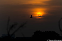 Ride off into the sunset (Kumaravel) Tags: lr glow silhouette sunset india chennai bird crop clouds