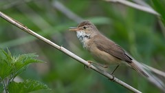 Reed warbler (JS_71) Tags: nature wildlife nikon photography outdoor 500mm bird new spring see natur pose moment outside animal flickr colour poland sunshine beak feather nikkor d500 wildbirds planet global national wing eye watcher