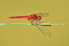 SB1_0713_00001 (standingbull) Tags: dragonfly dragon fly insect tail wing water pond predators goodluck color red nature food larval mosquitoes tadpoles flies air standingbull birds airplane