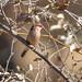 Black-rumped Waxbill (Estrilda troglodytes)