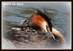 Great crested grebe (maryimackins) Tags: great crested grebe chick spring wildlife mary mackins kent