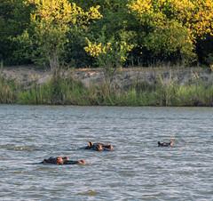 One of the iconic animals of the Okavango (pero1961) Tags: tamron nikon d850 namibia hippos okavango