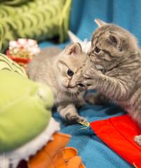20171210_1077c (Fantasyfan.) Tags: kuunkissan kitten european breed fantasyfanin