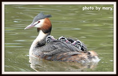 Great crested grebe (maryimackins) Tags: great crested grebe babies spring wildlife kent mary mackins