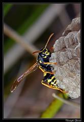 Polistes nimpha (cquintin) Tags: arthropoda hymenoptera polistes nimpha guêpe wasp vespidae macroinsectes