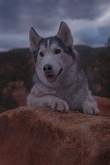 Aurora (Cruzin Canines Photography) Tags: animal animals canon canoneos5ds canon5ds canine 5ds eos5ds dog dogs pet pets aurora husky huskies siberianhusky alaskanhusky cute outdoors outside gardenofthegods colorado coloradosprings