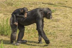 Chimpansee - Safaripark Beekse bergen - Hilvarenbeek (Jan de Neijs Photography) Tags: dierentuin zoo tamron tamron150600 150600 dierenpark nl holland thenetherlands dieniederlande diergaarde g2 animal dier beeksebergen safaripark safariparkbeeksebergen hilvarenbeek chimpansee aap ape noordbrabant sbb monkey chimpanzee tamron150600g2 schimpanse affe nederland
