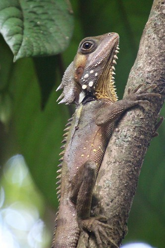 Daintree Dragon