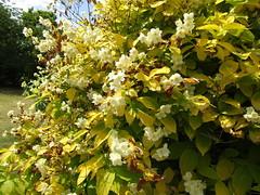 IMG_9733 (belight7) Tags: eton garden nature uk england berkshire flowers