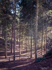 The colours of a watercolour sun (Through_Urizen) Tags: bedfordshire category england landscape places rushmere canon1585mm canon70d canon outdoor trees woodland forest path sunlight winter nature natural countryside rural uk unitedkingdom greatbritain