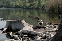 Macar ördeği / Red-crested Pochard (nisanyetkin) Tags: ördek duck pochard bird waterfowl wildlife birwatching roots tree lake nature park urban fauna