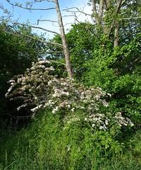 Hawthorn by the leat (Phil Gayton) Tags: undergrowth bush tree blossom flower may hawthorn crataegusmonogyna totnes devon uk