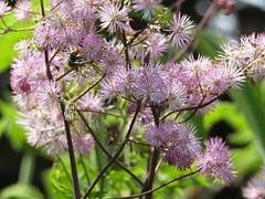 IMG_9721 (belight7) Tags: eton garden nature uk england berkshire flowers