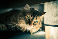 Un jour gris. (LACPIXEL) Tags: jour day día gris grey tristesse tristeza sadness amyff amy chat cat gato pet animal mascota sony flickr lacpixel