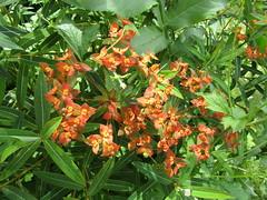 IMG_9749 (belight7) Tags: spurge eton garden berkshire uk nature life love