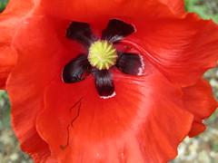 IMG_9758 (belight7) Tags: poppy eton garden berkshire uk nature life love
