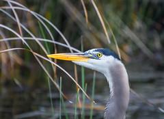 Look up. (Omygodtom) Tags: wildlife bird blueheron nature tannersprings flickriver eye weather nikon70300mmvrlens d7100 bokeh dof diamond