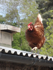 Funky Chicken (Nekoglyph) Tags: farm chicken hen strutting roof shed corrugated barn metal feet claws brown red bird guisborough cleveland trees green