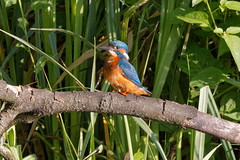 "Kingfisher  ""Alcedinidae"" (michael.jh) Tags: kingfisher alcedinidae sigma500mmf4 birds bird nature michaeljh canoneosr"