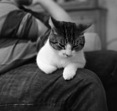 9370.Grigri (Greg.photographie) Tags: mamiya c33 sekor 55mm f45 film analog shanghai gp3 r09 moyenformat mediumformat 6x6 cat chat grigri noiretblanc bw