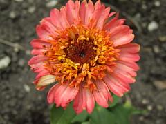 IMG_9760 (belight7) Tags: eton garden berkshire uk nature life love