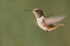 Scintillant Hummingbird (KarsKW) Tags: bird birds birding animal aves beautiful colorfull hummingbird colibri kolibri cute amazing karskw national park los quetzales cabinas el quetzal outdoor nature wildlife costa rica