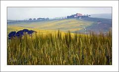 Biondi toscani (8) (Jambo Jambo) Tags: panorama landscape campagna countryside sanquiricodorcia pienza montalcino valdorcia siena toscana tuscany italia italy sonydscrx10m4 jambojambo colza grano rapeseed wheat