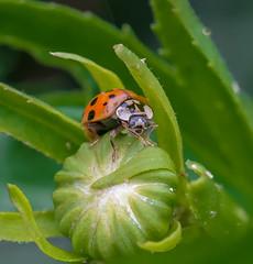 Hello Human. (Omygodtom) Tags: elitebugs nature ladybug bokeh bug insect hunter tamron texture macro green red wildlife flickriver usgs