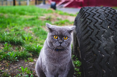 Portrait of a surprised cat with big yellow eyes and gray-blue hair (ivan_volchek) Tags: adorable animal attractive beautiful beauty breed british cartesiancat cat chartreux cheerful curious cute domestic eye eyes feline fluffy french frolicsome funny fur garden grass gray grayblue green grey happy kitten kitty mammal outdoor pedigreed pet pets playful playing portrait pretty purebred scottish shorthair sitting surprised view young